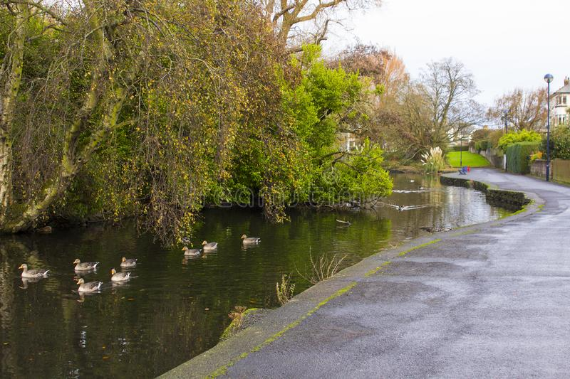 Small ducks swimming on the river that flows through Ward Park in Bangor County Down in Northern Ireland stock photos