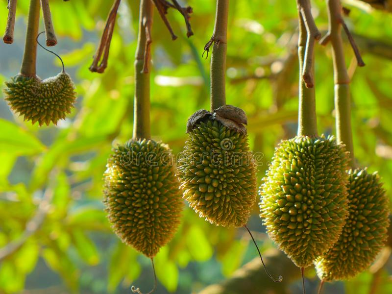 Small Durians on durian tree. Young Small Baby Durian Fruit Tree Yummy Delicious Fresh Little Two Months Thai Mon Thong Durio Golden Pillow Tropical Thai Fruit royalty free stock photos