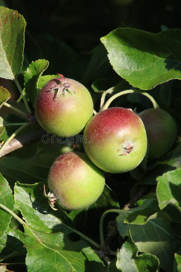 Small eating apples growing on a tree in summer royalty free stock photo