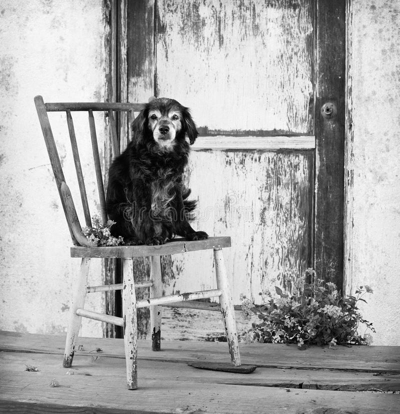 Small elderly senior cocker spaniel mix dog sits on old antique chair by barn door stock photos