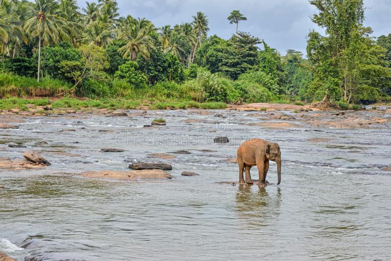 Small elephant alone in the river rapids, Sri Lanka. With the jungle in the background, Sri Lanka royalty free stock photos