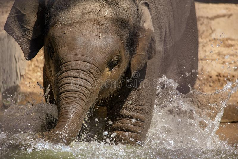 A small elephant is bathed in water royalty free stock images