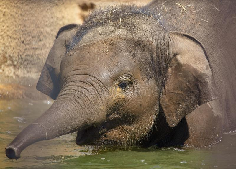 A small elephant is bathed in water royalty free stock photo