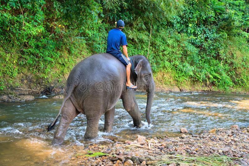 Small elephant with his trainer on the back walks in tropical ri. Small elephant with his trainer on the back walks in clean tropical river with green forest on stock photos