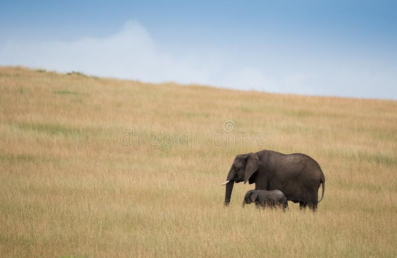 Small elephants with mother on african savannah stock images