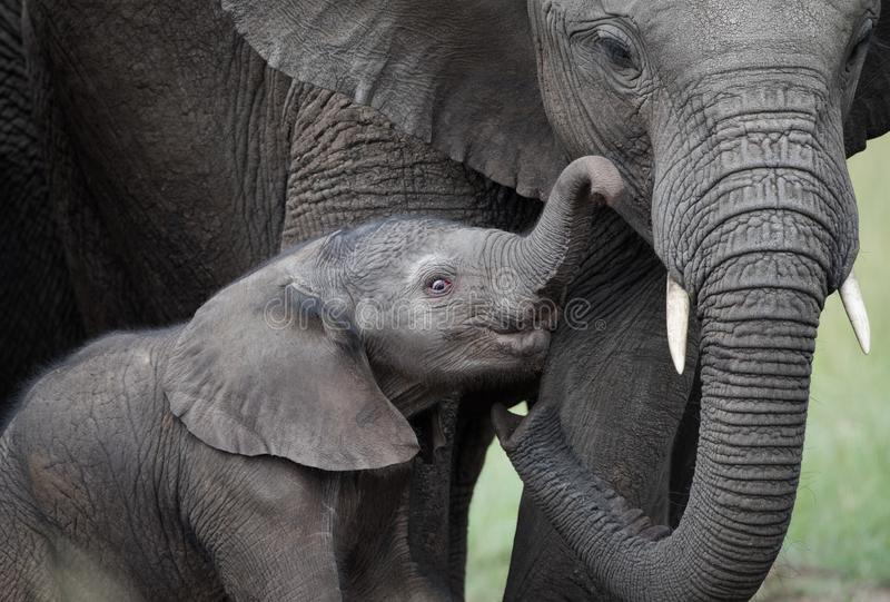 Small elephants with mother on african savannah stock image