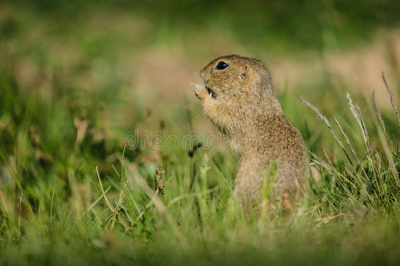 Small european brown ground squirrel in green grass stock photos