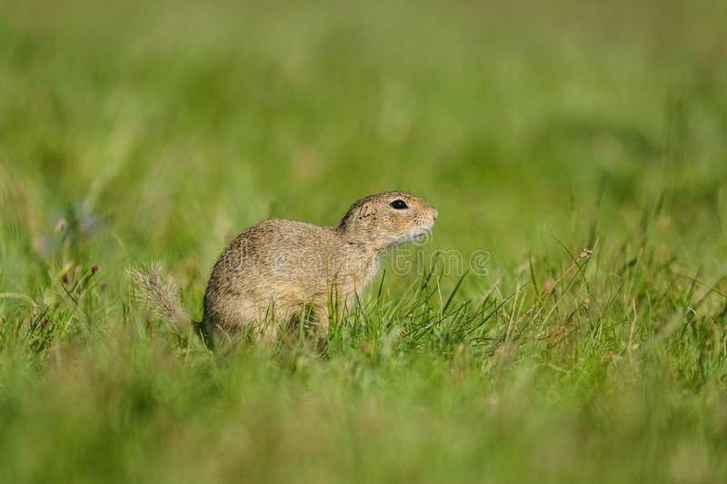 Small european brown ground squirrel sitting in green grass royalty free stock photos