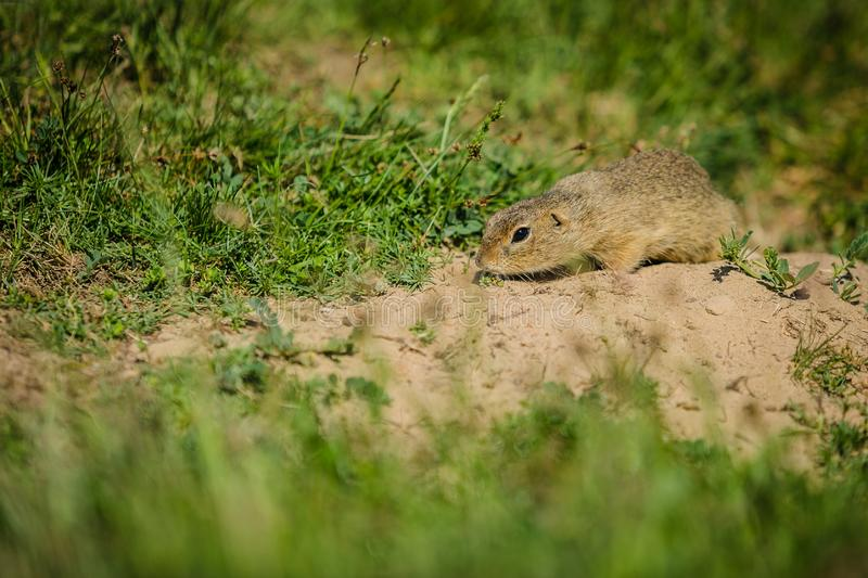 Small european brown ground squirrel. Sniffing on dry soil looking for food, green grass in foreground and background, a sunny spring day at a prairie royalty free stock photography