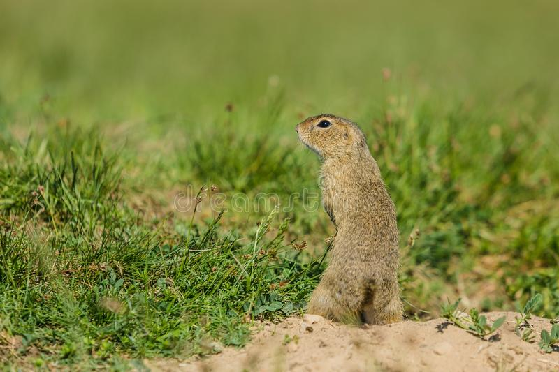 Small european brown ground squirrel royalty free stock images