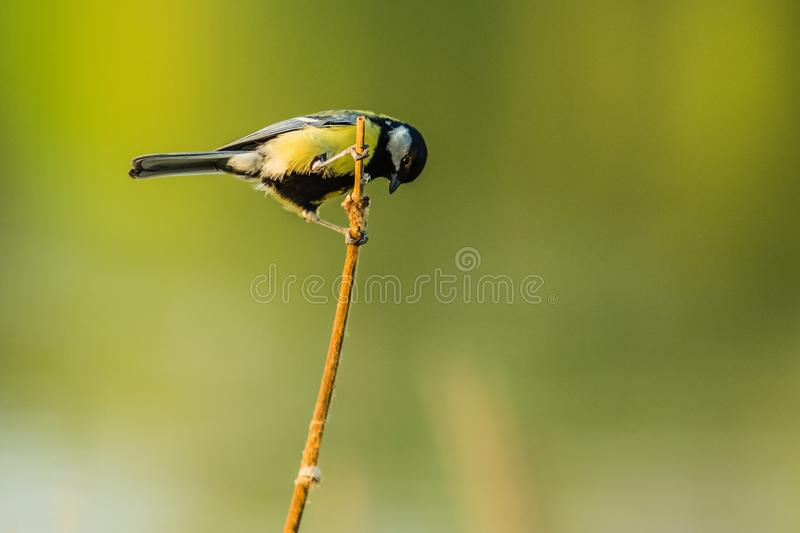 A small european yellow and black songbird, great tit stock photos