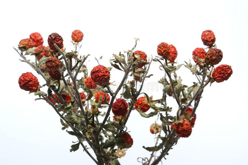 Small faded tree. With red berries isolated on white royalty free stock photo
