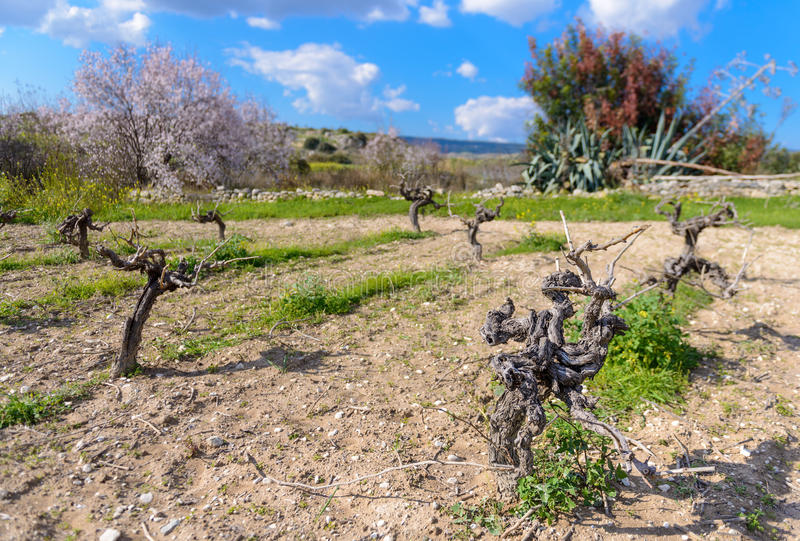 Small family vineyard in cyprus 2. A small family vineyard in the mountains of cyprus stock image