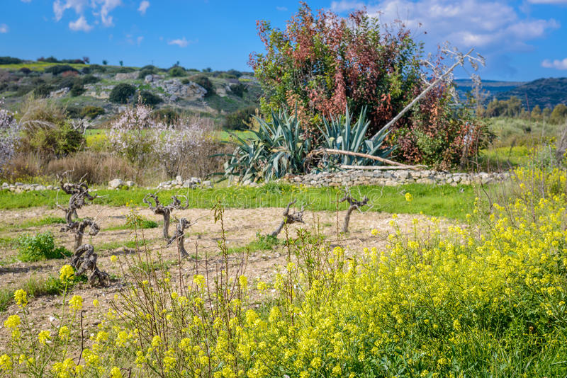 Small family vineyard in cyprus. A small family vineyard in the mountains of cyprus royalty free stock photo