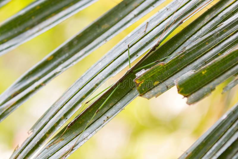 Small fancy stick insect perching on green leaf at Khao Yai National Park, Thailand stock images