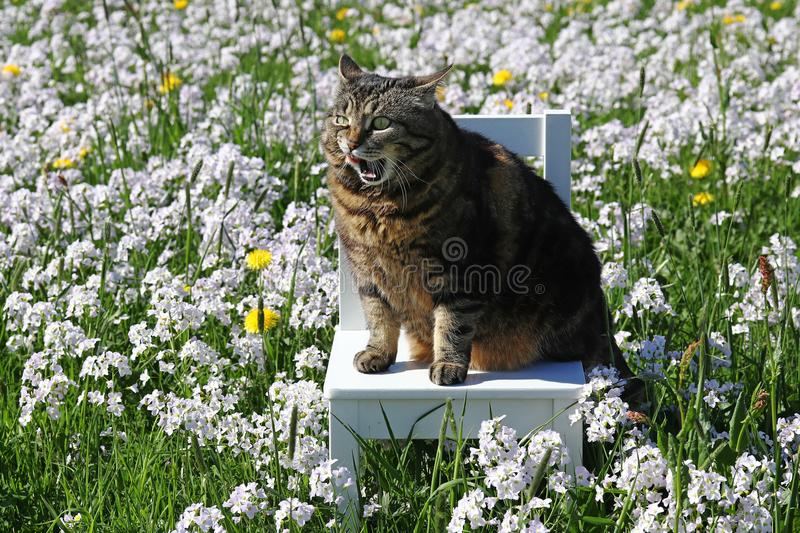 A small fat cat sits with a funny facial expression on a chair in the flower meadow royalty free stock photos