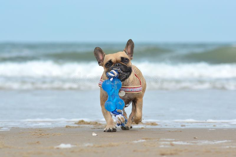 Small fawn French Bulldog dog carrying big blue toy in muzzle while playing fetch at the beach in front of waves stock image