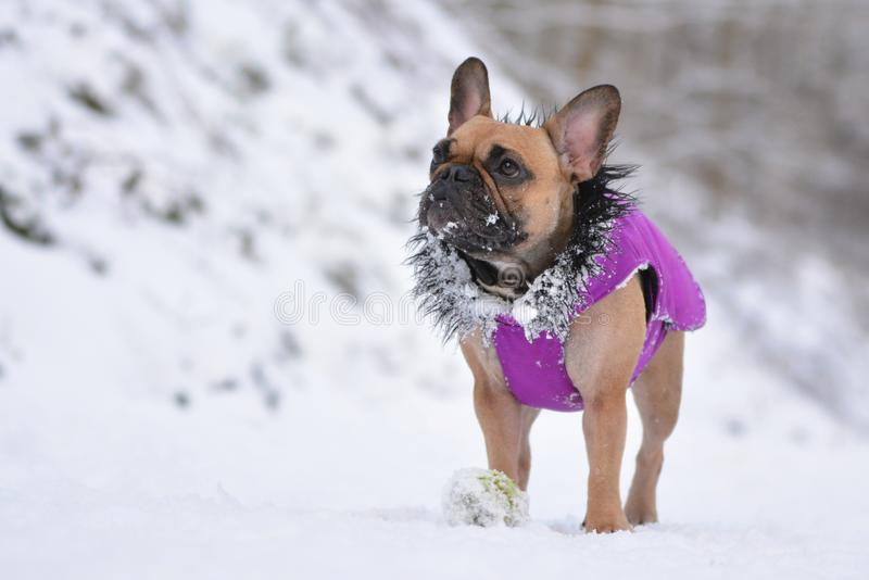 Small fawn French Bulldog dog wearing a purple winter coat in snow landscape. In winter stock photo