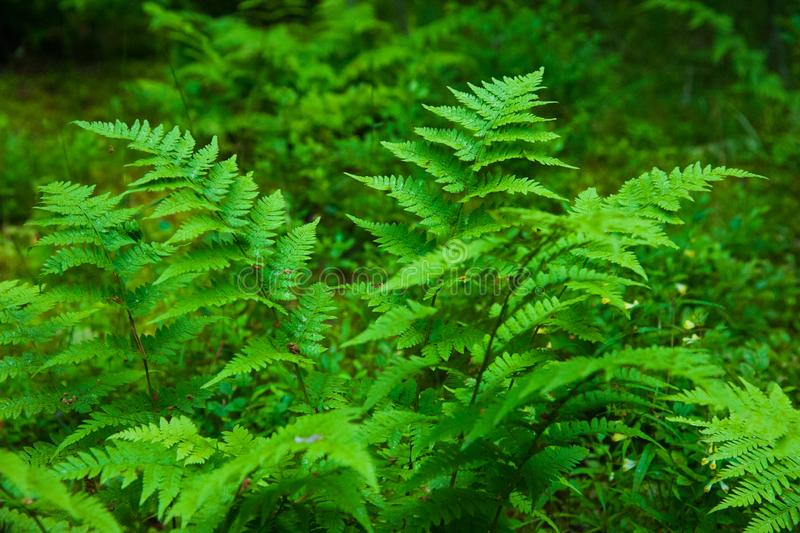 Small fern tree in the forest. In summer royalty free stock image