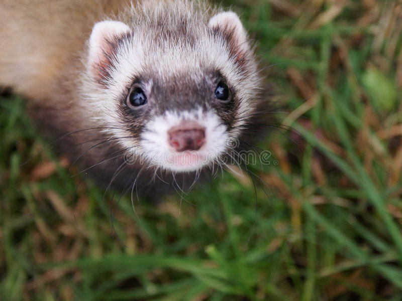 Download Small ferret stock image. Image of curiosity, posing, wildlife - 9291881