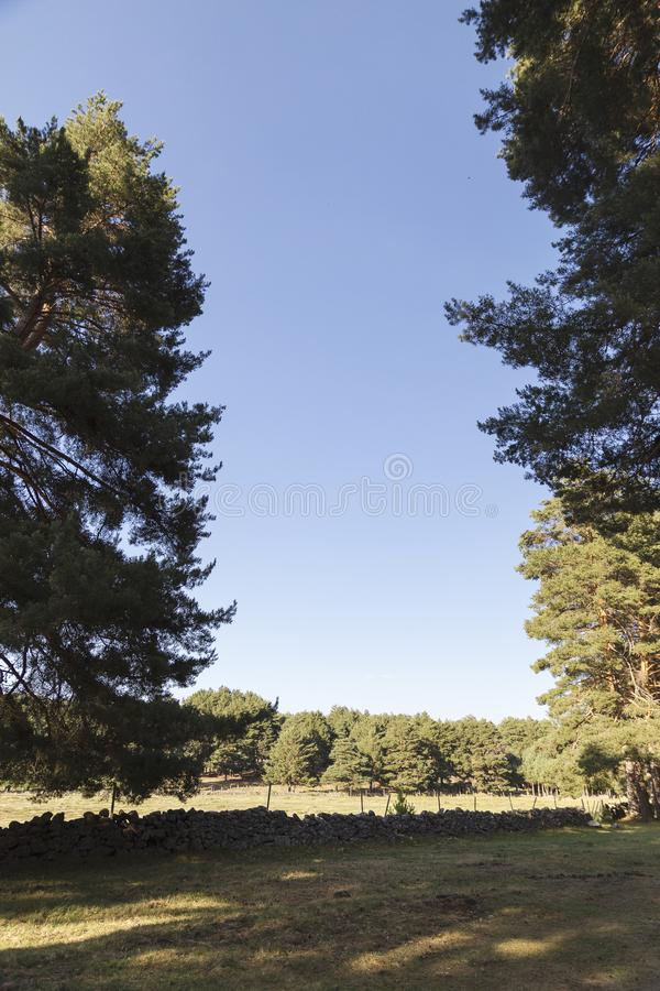 Small field among pines royalty free stock images