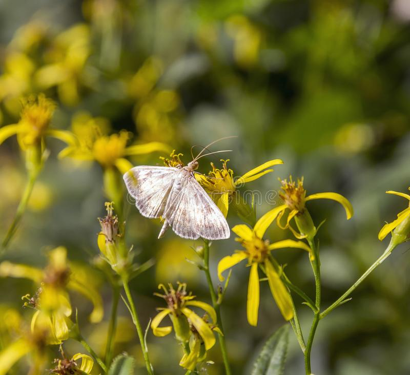 Small filigree butterfly. On yellow flower in natural ambiance stock images