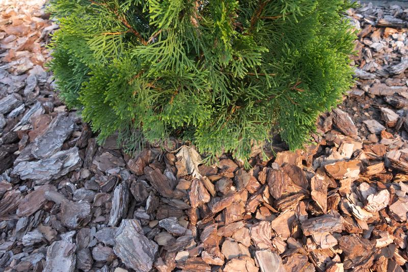 A small fir on the background of soil covered with bark of a tree. stock images