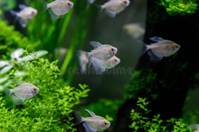 Small fish in aquarium on a green background royalty free stock images