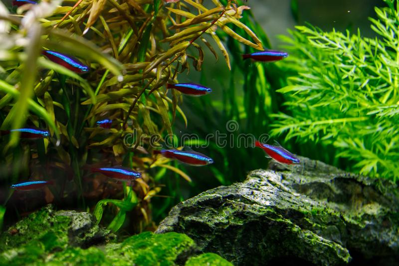 Small fish in aquarium on a green background stock photo