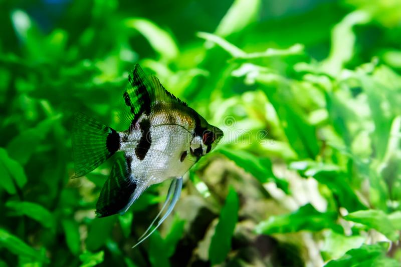Small fish in aquarium on a green background stock photos