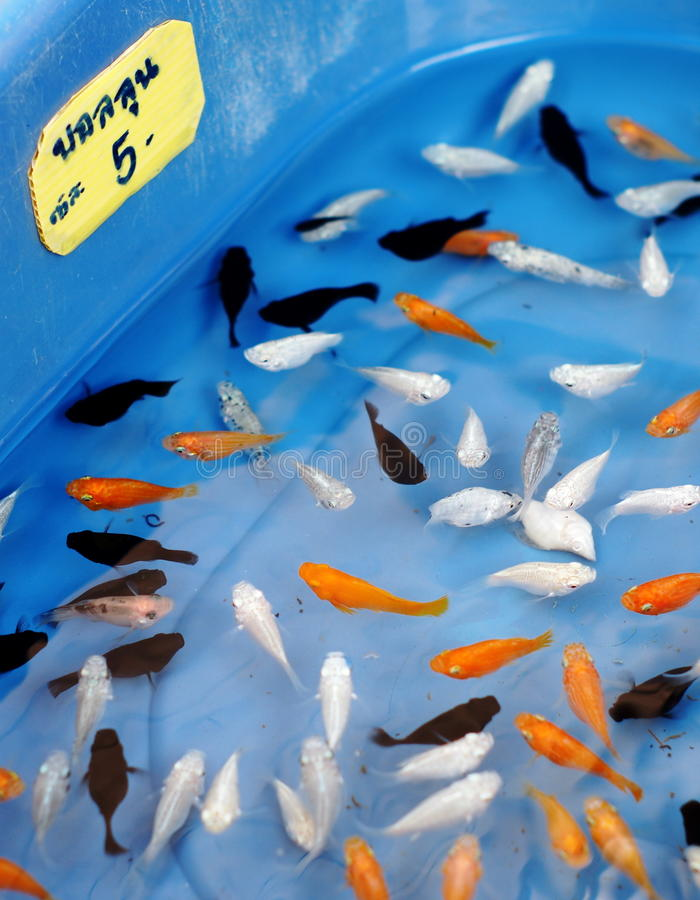 Small fish aquarium. Young small colorful exotic tropical home decorative sweet water fish waiting for sale in blue plastic bowl in a pet shop market in THAILAND stock image
