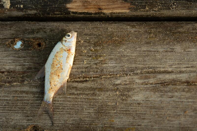 A small fish caught in a pond, lying on a wooden platform, Staw, Poland royalty free stock photo