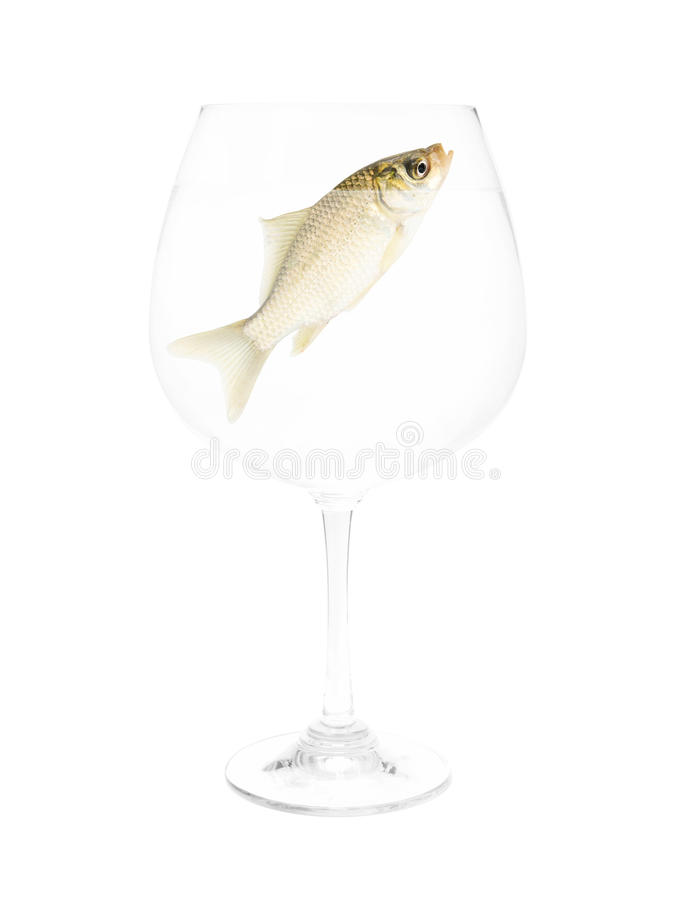 Small fish in glass of water isolated royalty free stock image