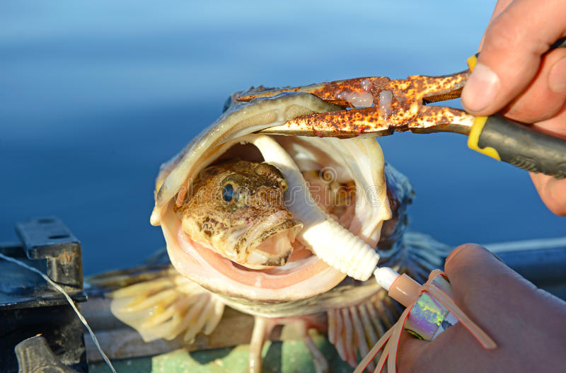 Small fish inside mouth of larger fish. Illustrating concepts of competition, predation, survival and the food chain stock photos