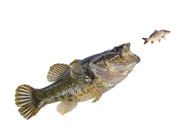 Small fish jumping for a smaller isolate. Small fish jumping for a smaller fish isolate stock photography