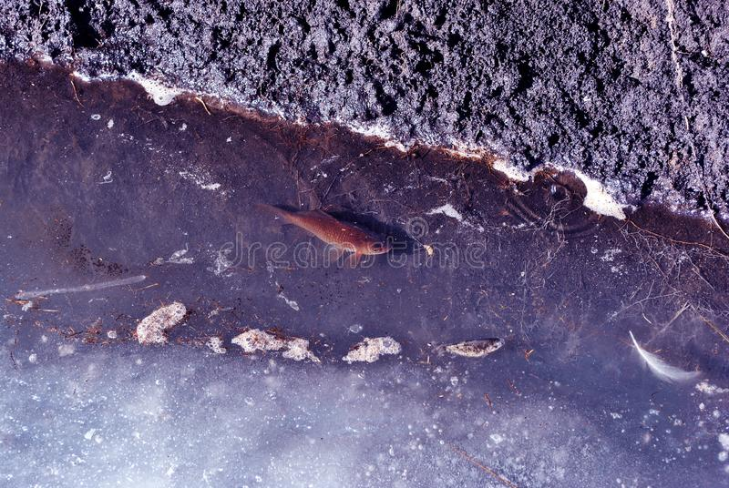 Small fish swimming in water near wet ground of bank, melting ice. Spring day royalty free stock images