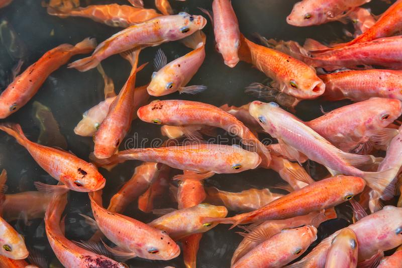 Small fishes do a peeling of legs. Foot skin care with the help of fish.Horizontally stock images