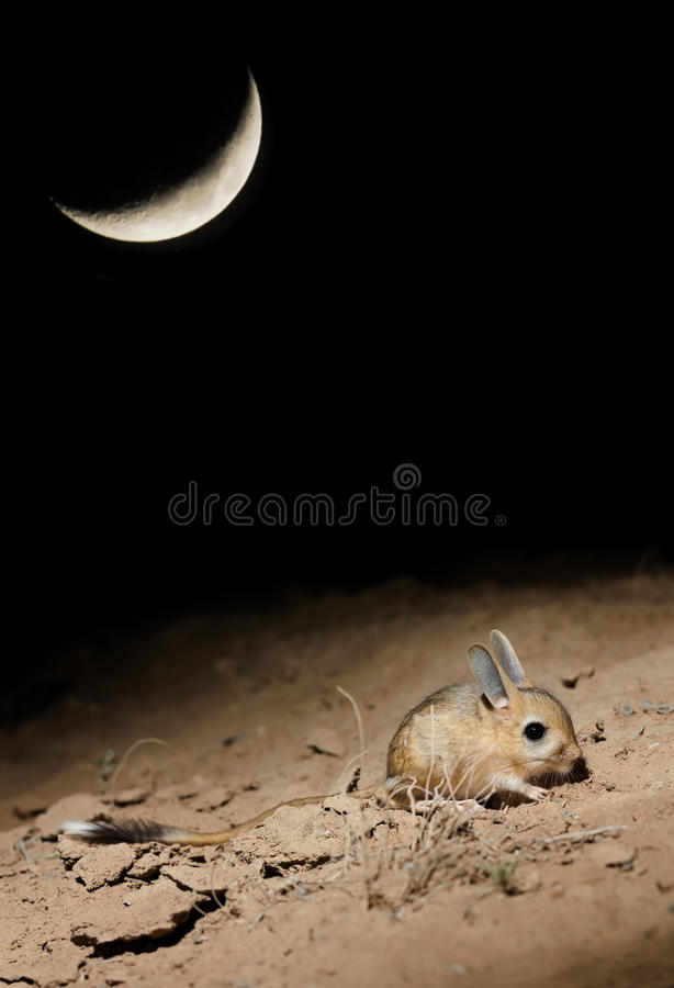 Small five-toed jerboa Allactaga elater at moonlit night stock images