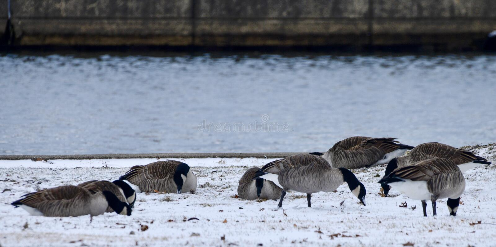 A Small Flock of Canada Geese In Snow in Lincoln Park stock photography
