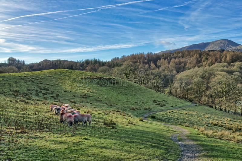 A small flock of sheep grazing in Little Langdale. royalty free stock photo