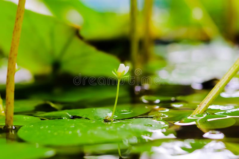 Small flower blooming in pond royalty free illustration