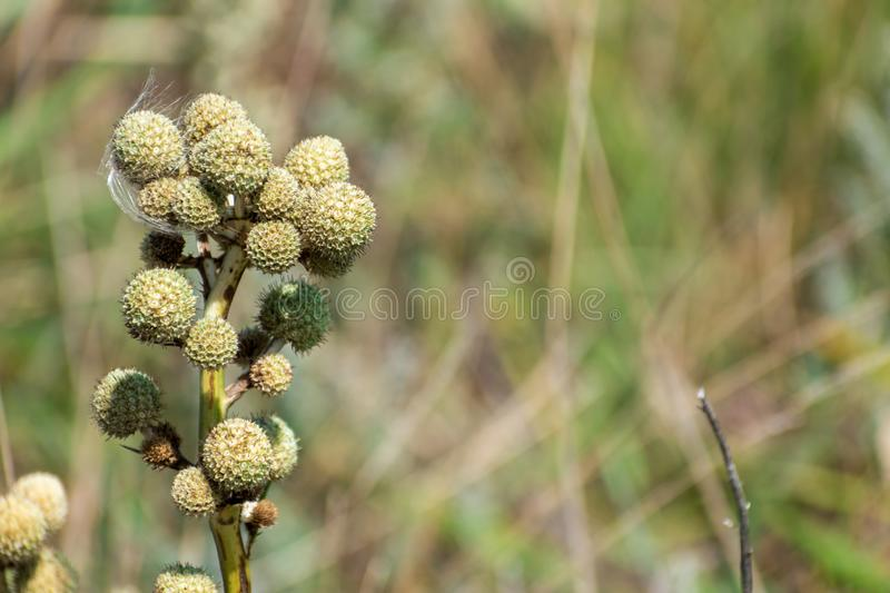 Small flower bud sivestre royalty free stock photography