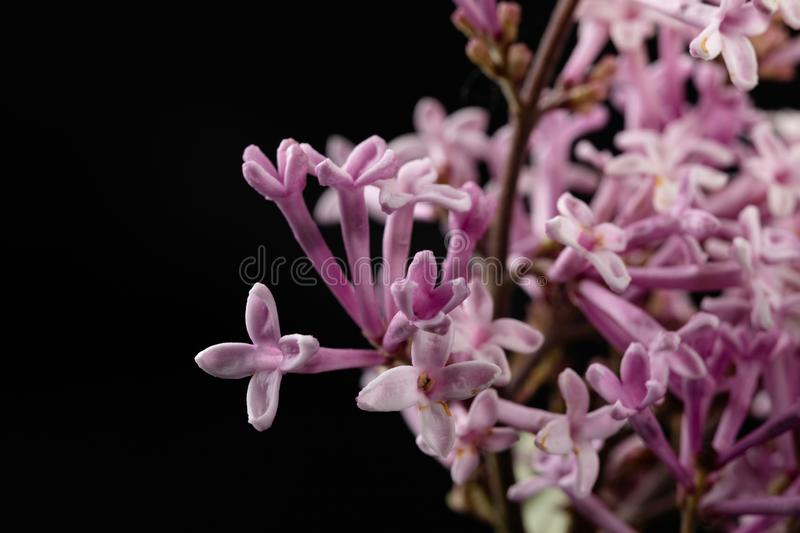 A small flower of a lilac bush in an enlargement. Cute flowers from the home garden. Dark background beautiful beauty bloom blooming blossom botany branch royalty free stock images