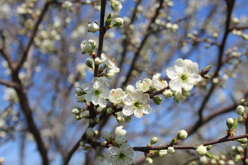 Small flowers of cherry blossom in spring royalty free stock photo