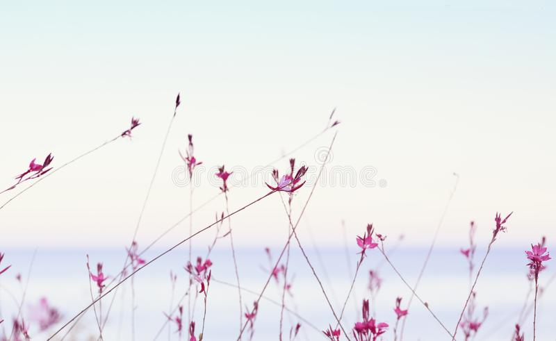 Small flowers of gaura lindheimeri on sunset sea and sky royalty free stock image