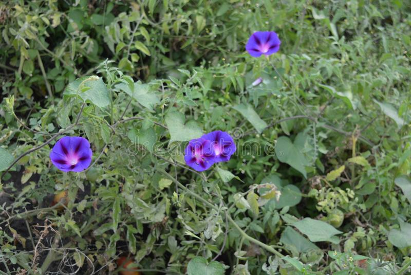 Small flowers of ipomoea or convolvulaceaeon a background of bushes tomato, purple white blossom, morning glory, water convolvulus royalty free stock images
