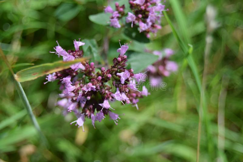 Small flowers, Mendip hills. Small pink flowers by the path, Mendip hills stock image