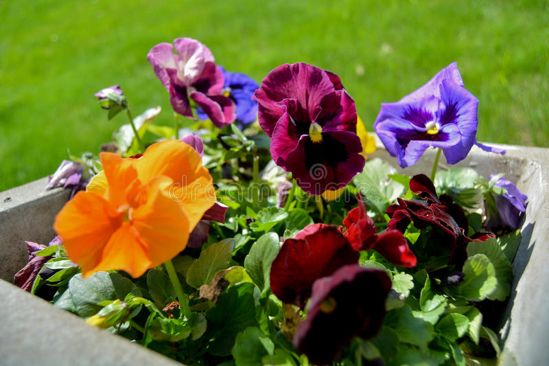 Small Flowers in Planter royalty free stock photo
