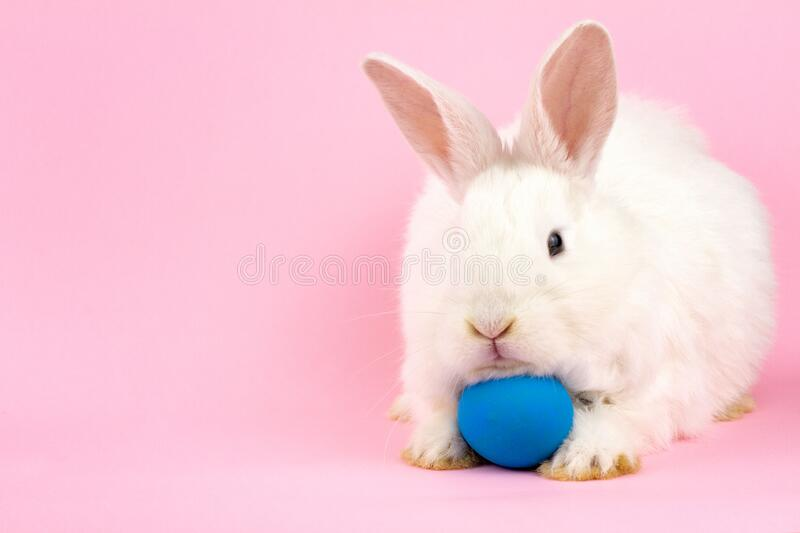 A small fluffy Easter white rabbit with a blue egg on a pastel pink background. Concept for the Easter holiday royalty free stock photo