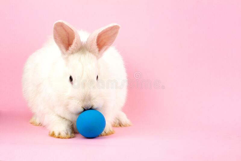A small fluffy Easter white rabbit with a blue egg on a pastel pink background. Concept for the Easter holiday stock photos